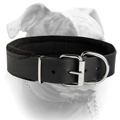 American Bulldog breed collar with D-ring