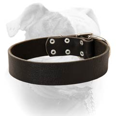 American Bulldog collar for daily training