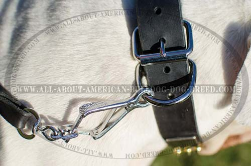Extra wide American Bulldog collar with strong D-ring