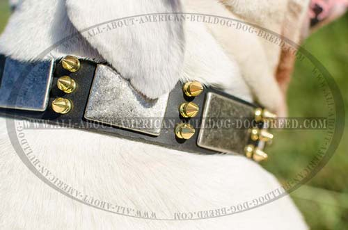 Shiny brass spikes and nickel plates for leather American Bulldog collar