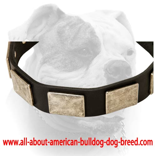 Leather American Bulldog collar with vintage massive plates