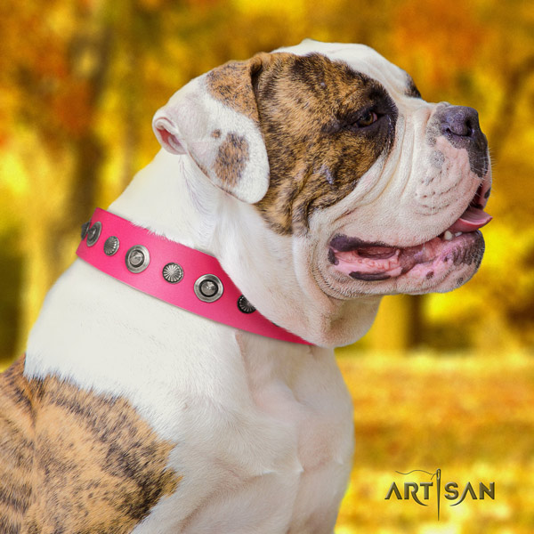 American Bulldog awesome genuine leather dog collar with adornments for everyday use