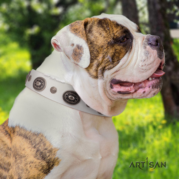 American Bulldog awesome genuine leather dog collar with studs