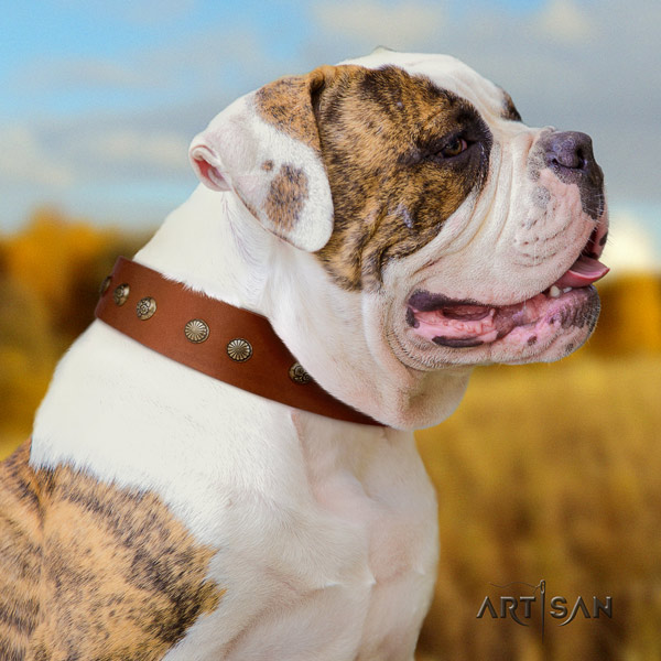 American Bulldog stylish design leather dog collar with embellishments