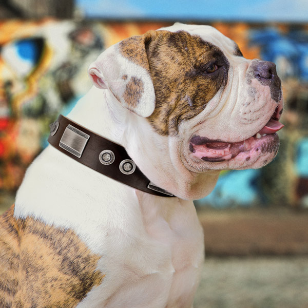 American Bulldog significant leather dog collar with adornments for easy wearing