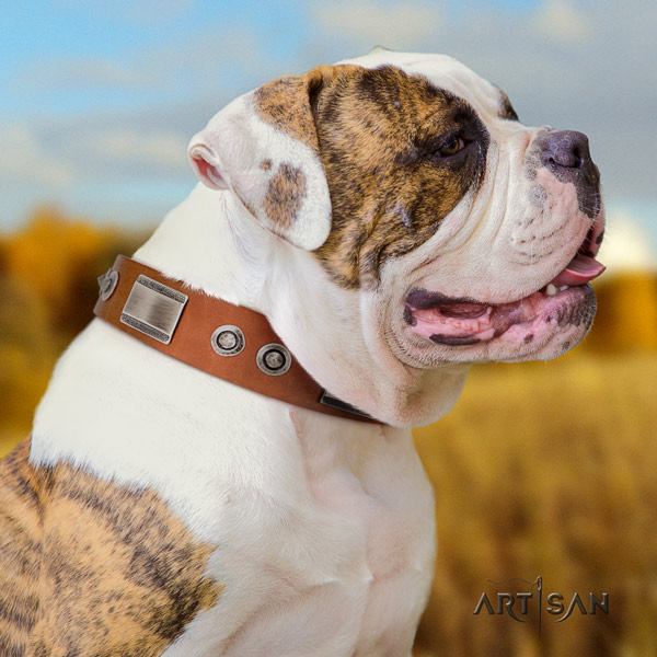 American Bulldog inimitable leather dog collar with embellishments for handy use