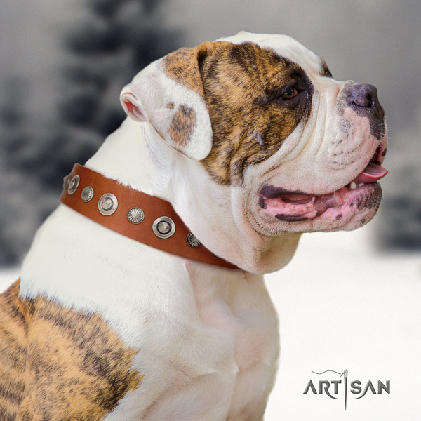 American Bulldog extraordinary full grain leather dog collar with adornments for daily use