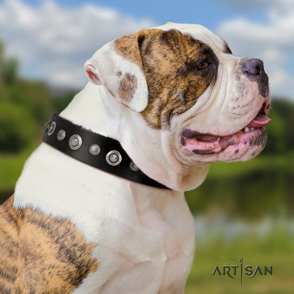 American Bulldog significant leather dog collar with adornments for everyday use