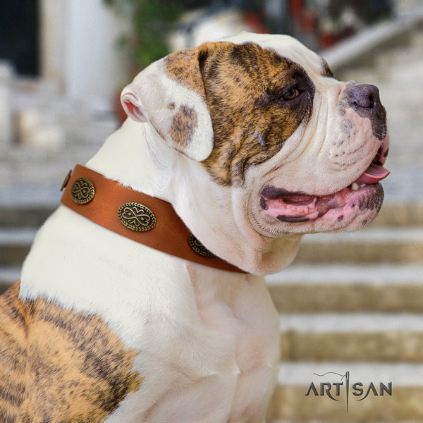 American Bulldog stylish design leather dog collar with embellishments for comfortable wearing