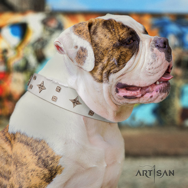 American Bulldog stylish walking full grain leather collar with designer studs for your doggie