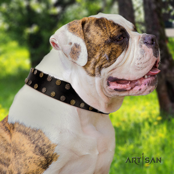 American Bulldog comfortable wearing natural leather collar with stylish adornments for your dog
