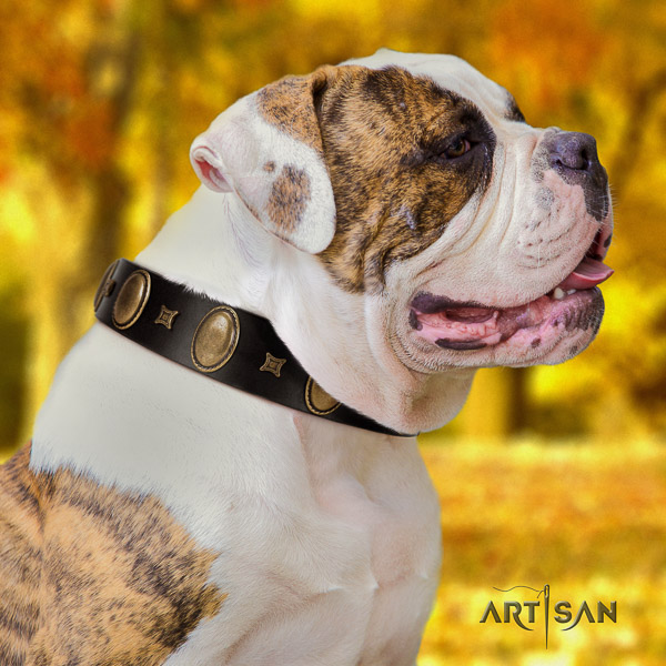 American Bulldog basic training genuine leather collar with amazing adornments for your pet