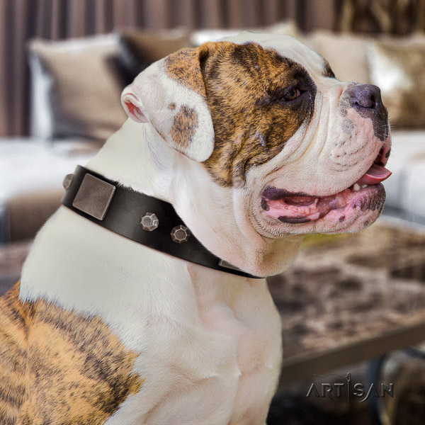 American Bulldog comfortable wearing genuine leather collar with extraordinary studs for your doggie
