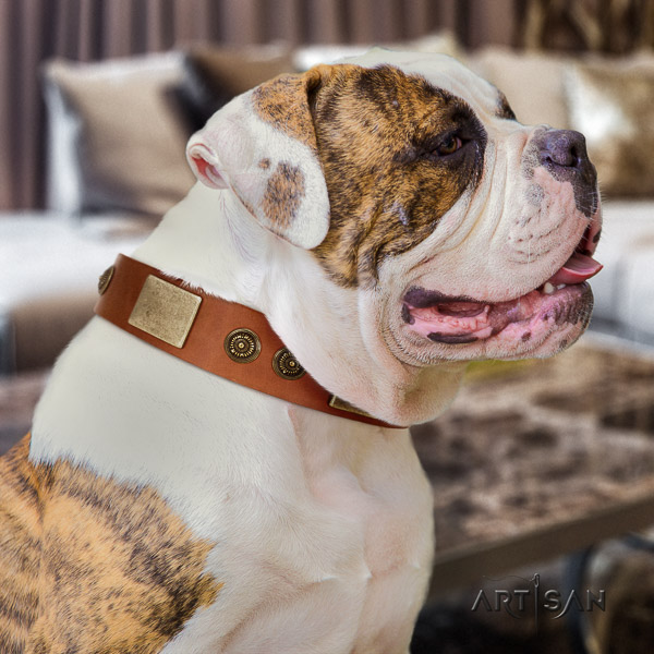 American Bulldog daily walking full grain leather collar with embellishments for your pet