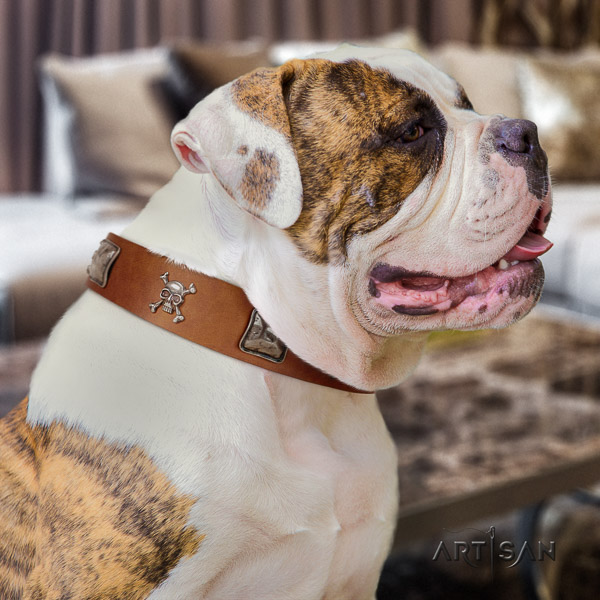 American Bulldog easy wearing natural leather collar with remarkable studs for your doggie