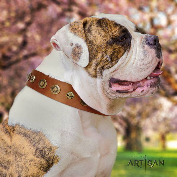 American Bulldog everyday walking natural leather collar with stylish design embellishments for your doggie