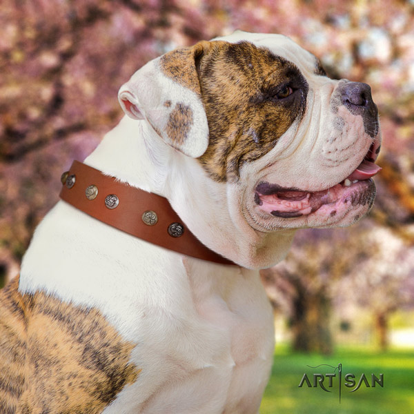 American Bulldog top notch full grain leather dog collar with embellishments