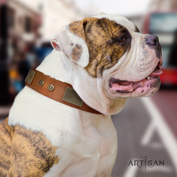 American Bulldog stylish genuine leather dog collar with embellishments for walking