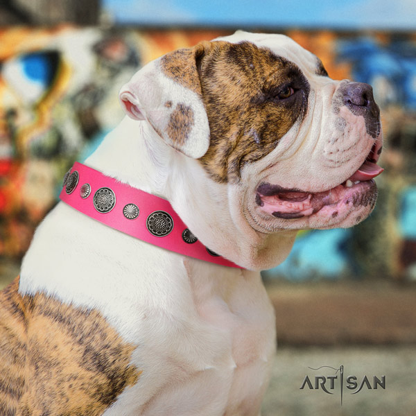American Bulldog inimitable leather dog collar with studs for easy wearing
