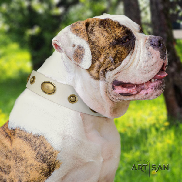American Bulldog top notch genuine leather dog collar with embellishments for daily walking