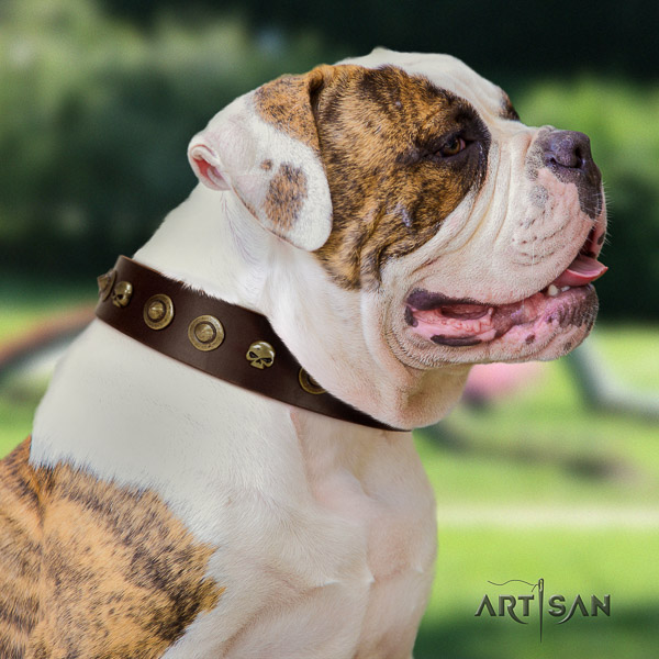 American Bulldog comfortable wearing natural leather collar with significant adornments for your four-legged friend