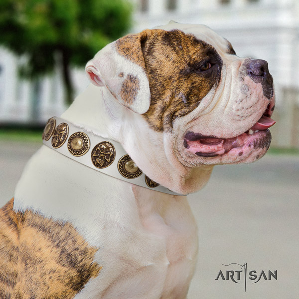 American Bulldog comfortable wearing full grain leather collar with studs for your four-legged friend