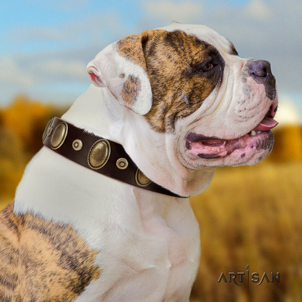 American Bulldog daily walking full grain leather collar with unique embellishments for your doggie