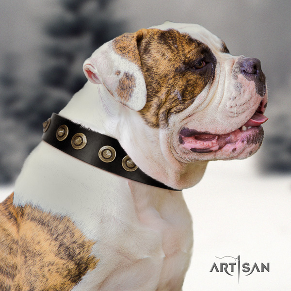 American Bulldog everyday use full grain leather collar with adornments for your four-legged friend