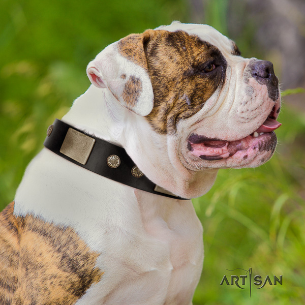 American Bulldog stylish walking full grain leather collar with embellishments for your canine