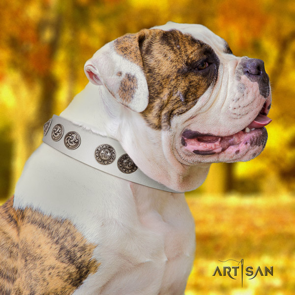 American Bulldog comfortable wearing genuine leather collar with impressive decorations for your pet