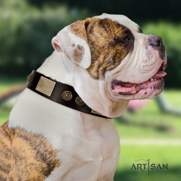 American Bulldog basic training full grain leather collar with adornments for your pet