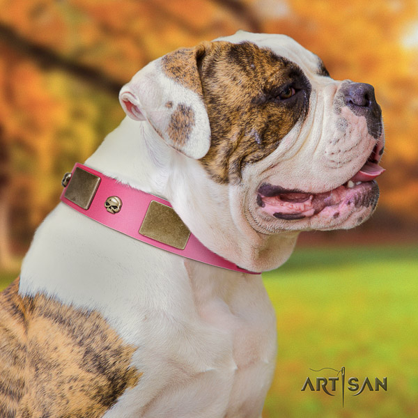 American Bulldog comfy wearing genuine leather collar with stylish adornments for your doggie