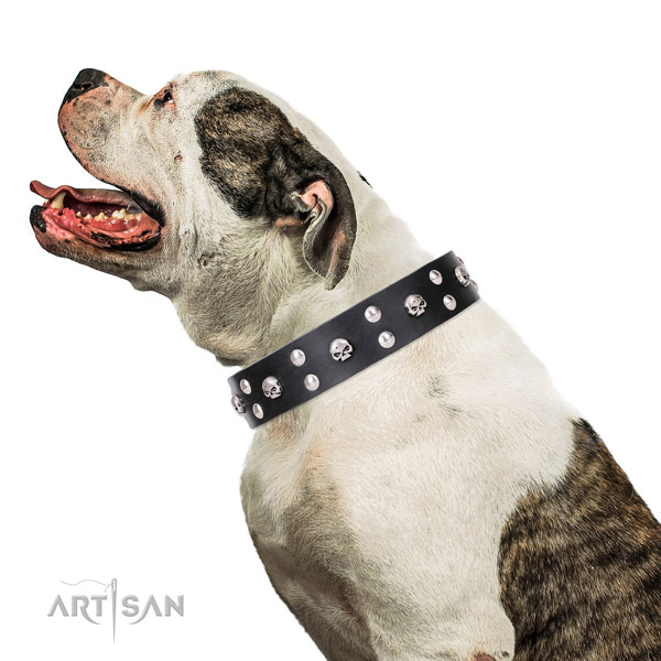 American Bulldog impressive full grain leather dog collar for fancy walking