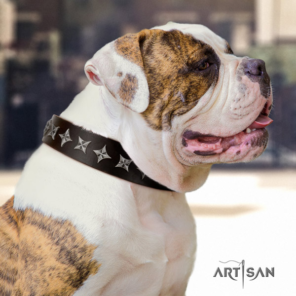 American Bulldog stylish full grain leather dog collar with adornments for stylish walking