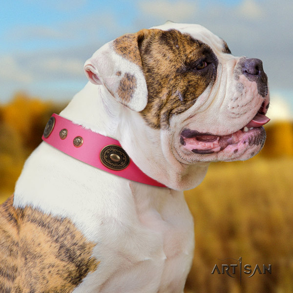 American Bulldog top notch genuine leather dog collar with adornments for fancy walking