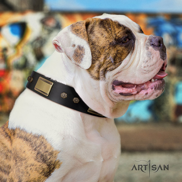 American Bulldog top notch full grain leather dog collar with studs for basic training