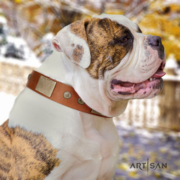 American Bulldog everyday walking full grain genuine leather collar with studs for your dog