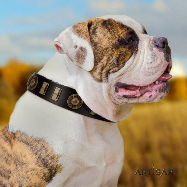 American Bulldog everyday walking full grain leather collar with fashionable embellishments for your four-legged friend