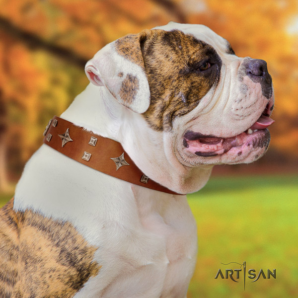 American Bulldog stylish walking full grain leather collar with stylish design adornments for your pet