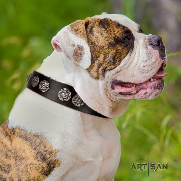 American Bulldog basic training genuine leather collar with unique embellishments for your four-legged friend