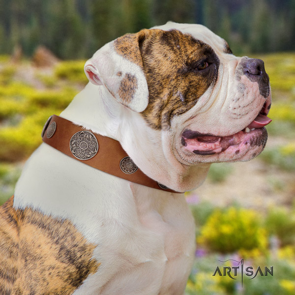 American Bulldog comfy wearing natural leather collar with exceptional adornments for your four-legged friend