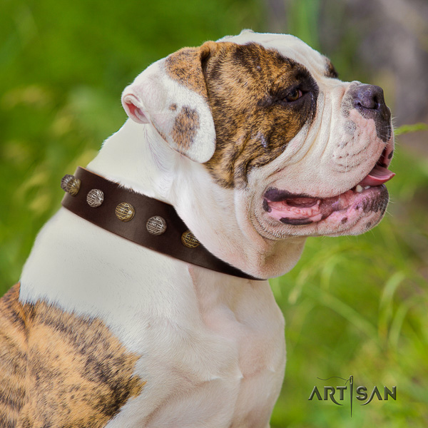 American Bulldog fancy walking full grain leather collar with extraordinary studs for your dog