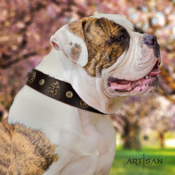American Bulldog daily walking full grain leather collar with adornments for your dog