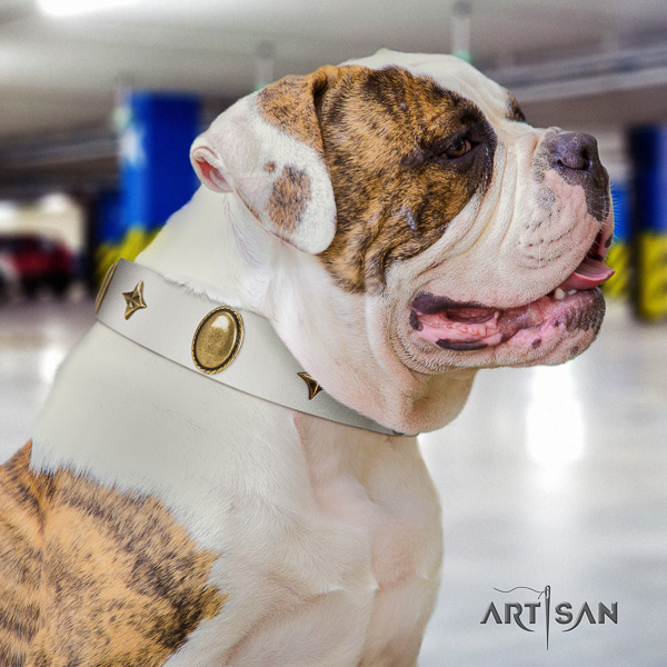 American Bulldog basic training full grain leather collar with exceptional studs for your dog
