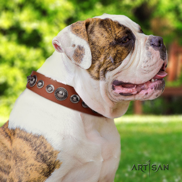 American Bulldog stylish genuine leather dog collar with embellishments