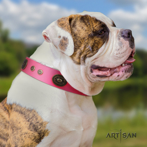 American Bulldog amazing genuine leather dog collar with adornments