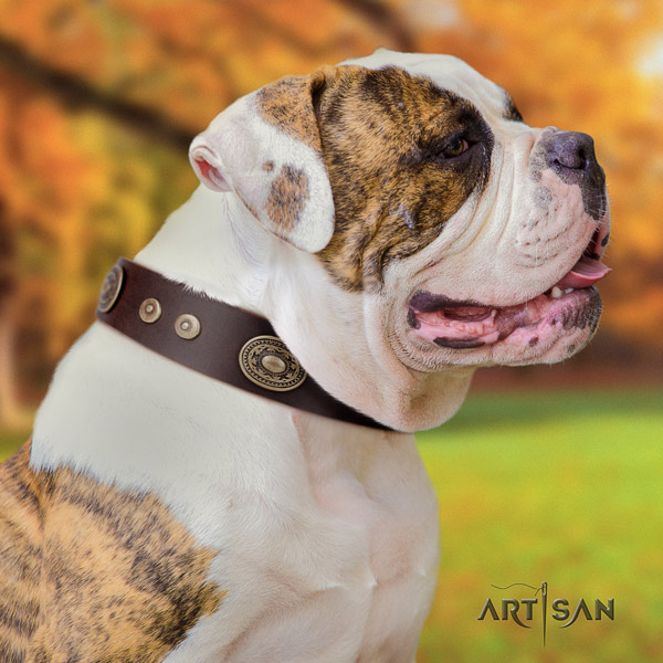 American Bulldog remarkable genuine leather dog collar with studs