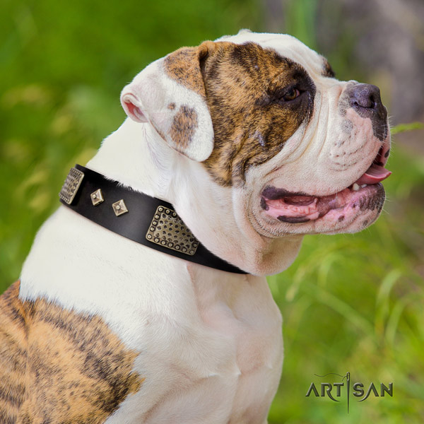 American Bulldog incredible leather dog collar with adornments for stylish walking
