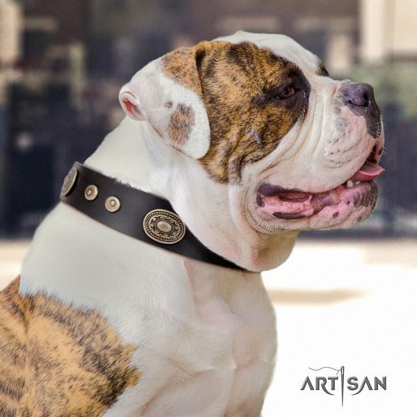 American Bulldog top notch leather dog collar with embellishments