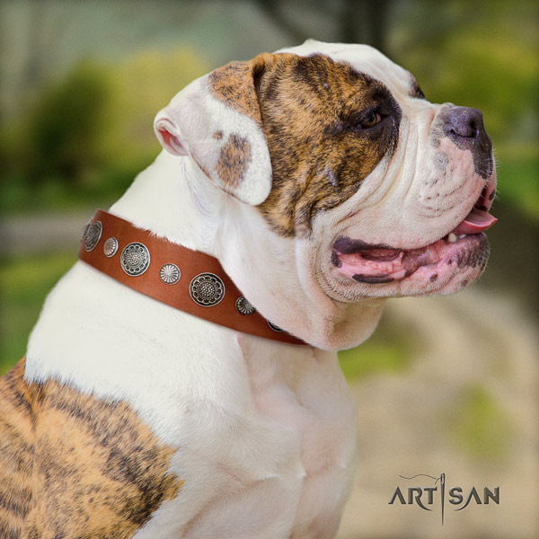 American Bulldog stylish full grain leather dog collar with studs for comfortable wearing